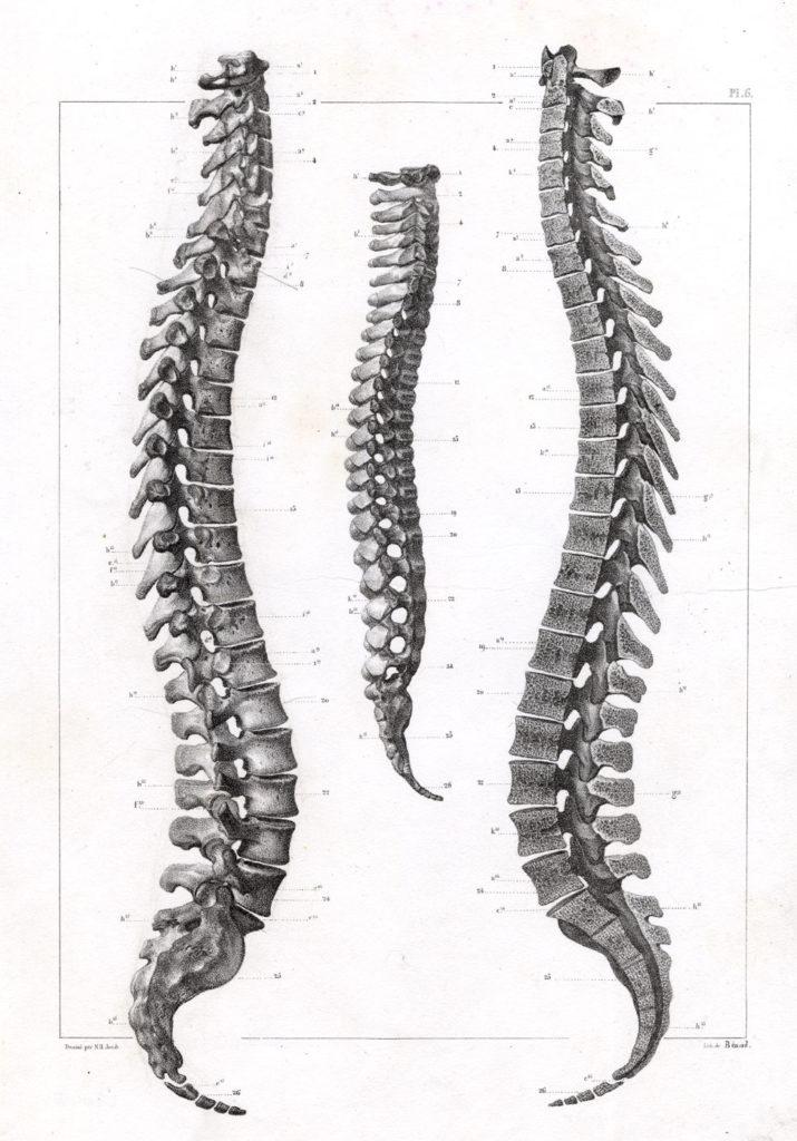 Dessin d'une colonne vertébrale importante en chiropraxie